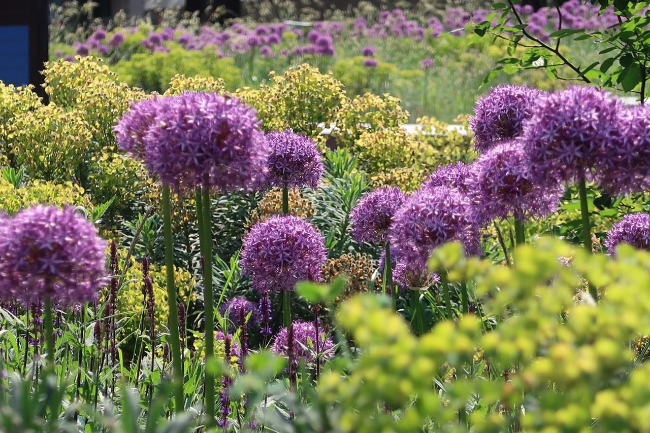 Barbican Alliumit ja e toukokuu 2018
